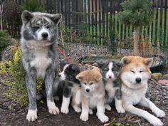 http://www.punjabigraphics.com/animals/images/3/akita-inu148.jpg