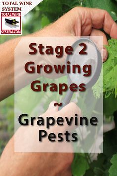 Vineyards are susceptible to pests and diseases. Keeping an eye on your grapevines will make a healthy grape crop more viable Backyard Vineyard, Grape Vineyard, Fruit Plants, Fruit Trees, Homemade Wine Recipes, Grape Trellis, Wine Vineyards, Growing Gardens, Organic Gardening Tips