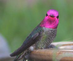 calypte anna hummingbird