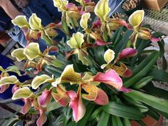 """This is an orchid from 1957! It was the very first flower that Dodo Hamilton ever entered in the Flower Show. It was passed down from her grandmother and it  won top honors. The nickname of this beautiful orchid is """"Invincible."""""""
