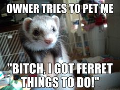 1000+ images about Ferrets on Pinterest   Funny ferrets, Funny ...