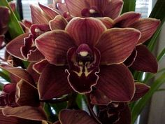 Chocolate Cymbidium Orchids, mini | Florabundance Wholesale Flowers Diy Wedding Flowers, Diy Flowers, Colorful Flowers, Wedding Plants, Orchid Flowers, Fall Flowers, Wedding Bouquet, Wedding Stuff, Dream Wedding