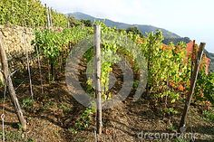 Photo about Vineyard by the sea in Liguria. Image of drink, cinque, fresh - 31647802 Italy Sea, Vines, Vineyard, Stock Photos, Nature, Photography, Outdoor, Outdoors, Naturaleza