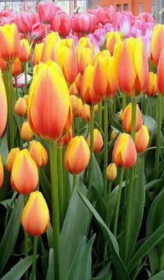 I love tulips, would be cute in a jar on a piano or on a windowsill. Need to always plant tulips close together for great color! Tulips Flowers, Flowers Nature, My Flower, Daffodils, Spring Flowers, Planting Flowers, Beautiful Flowers, Pink Tulips, Spring Bulbs