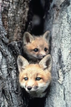 "r2–d2:  "" "" Red Fox Pups by (Wisconsin Department of Natural Resources)  "" """