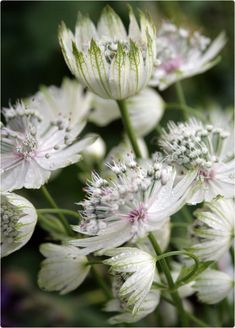 Stjerneskærm Love Garden, Summer Garden, Dream Garden, Scandinavian Garden, Astrantia, White Gardens, Garden Styles, Soft Colors, Dried Flowers