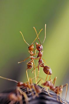the dancing ants by teguh santosa