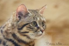 rare cat: black-footed kitten