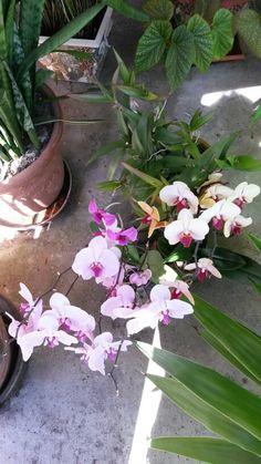 Les orchidées de mon jardin intérieur