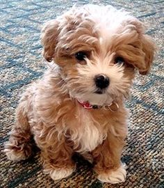 Awwe!! Looks like a little teddy bear..maltipoo.