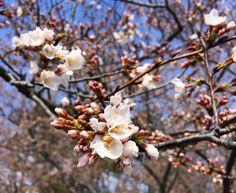 #cherryblossoms popping today in #Reston  #loveVA #Virginia