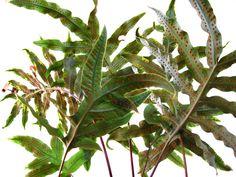 Plantas e Flores - as samambaias com suas formas sinuosas estão associadas ao Elemento Água - www.alinemendes.com.br Feng Shui, Plant Leaves, Water Element, Ferns, Shapes, Plants