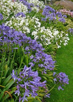 Plant Agapanthus And Agapanthus Care Agapanthus- great plant for small gardens especially for dry areas.Agapanthus- great plant for small gardens especially for dry areas. Garden Shrubs, Garden Plants, Garden Landscaping, Potager Garden, Plants For Small Gardens, Back Gardens, White Agapanthus, Agapanthus In Pots, Exotic Flowers