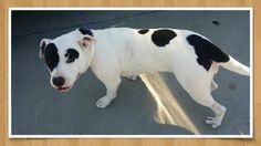 11/01/16-HOUSTON - HIGH KILL FACILITY - ALL DOGS URGENT DUE TO OVERCROWDING WYNONA - ID#A471261 My name is WYNONA I am a female, white and black Pit Bull Terrier mix. The shelter staff think I am about 2 years and 1 month old. I have been at the shelter since Oct 28, 2016. This information was refreshed 2 hours ago and may not represent all of the animals at the Harris County Public Health and Environmental Services
