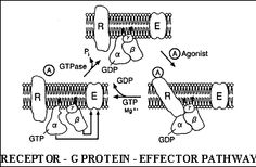 rfumsphysiology / Autonomic Nervous System II