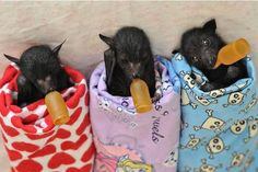 baby bats and thier bottles
