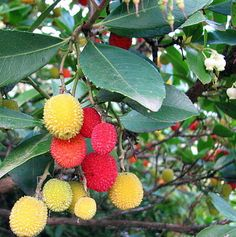 Plants - Fruit & Berry Plants - Page 3 - Hirt's Gardens House Plants For Sale, Plants For Sale Online, Berry Plants, Fruit Plants, Arbutus Marina, House Plant Delivery, Strawberry Tree, Pot Lights, Types Of Fruit