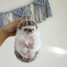 No way they held a hedgehog like this Baby Animals Pictures, Cute Animal Photos, Animals And Pets, Cute Little Animals, Cute Funny Animals, Animal Tumblr, Baby Hedgehog, Hamster, Cute Creatures