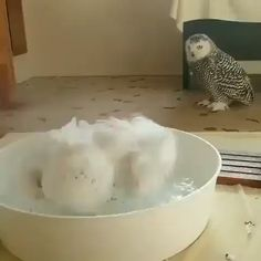 Cute birds video White owl bathing adorable birds video funny owl compilation I like the reaction of the second owl Funny Owls, Cute Funny Animals, Owl Pictures, Funny Animal Pictures, Cute Birds, Cute Owl, Cute Animal Videos, Cute Little Animals, Animal Memes