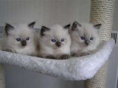 I seriously love ragdoll kittens, if anyone wants to buy me one, I would love you forever!