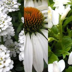Potted - White Sunny Mix - 24 Coneflower, 24 Candytuft, 24 Mazus  Read more at: https://classygroundcovers.com/product/9805/25-off-White-Sunny-Mix-24-White-Echinacea-24-Iberis-24-White-Mazus Classy Groundcovers offers free shipping on quality groundcovers.