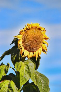 Sun Flower by *Joe-Lynn-Design Worlds Largest, Fine Art Prints, Deviantart, Sun, Artist, Flowers, Plants, Photography, Design