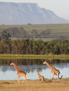 You can spot graceful giraffes from our cottages bordering a Game Reserve. Weekends Well Spent #accommodation #cottages #winelands #vineyard #relax #weekend #getaway