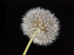 Résultats de recherche d'images pour «dessin fleur pissenlit»