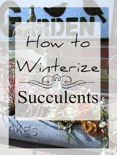 How to winterize and care for succulents.