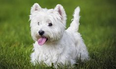 CRAIG BROWN: Whippet or Westie, which one are you?