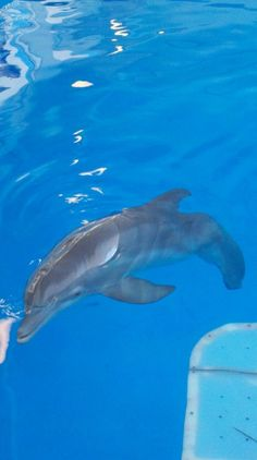 (From previous pinner) Winter the dolphin from dolphin tale. AKA the best movie ever! Bottlenose Dolphin, Humpback Whale, Rare Animals, Strange Animals, Dolphin Tale 2, Dolphin Quotes, Clearwater Marine Aquarium, Pet Rats, Killer Whales