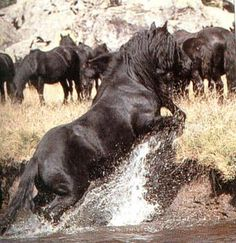 Horse of the Week, Merens - Always black in color, Mérens must meet strict physical standards in order to be registered in the stud book. The breed is known for its sure-footedness on mountain terrain, as well as for its endurance, hardiness and docility.