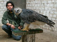 Harpy Eagle...the largest of the eagles, with the greatest wingspan and lifting ability of all the eagles.  Just LOOK at those legs and feet!  I've read that they can lift and actually FLY with forty pounds of prey in their talons.  I'm inclined to believe it.