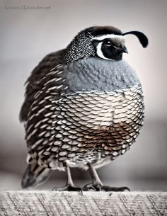 california quail...this is the cutest thing ive ever seen lol