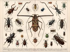 Beetles 1898 Antique Print Insects Engraving by Craftissimo, €55.00