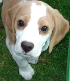 Beagle hound photo | Posted 1 year ago from bookmarklet