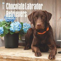 2017 Chocolate Labrador Retrievers Wall Calendar - Gifts for pet lovers, gifts for Labrador Retriever parents, Labrador Retriever gifts, Christmas gifts for Labrador Retriever lovers, gifts for dog lovers #labradorretriever