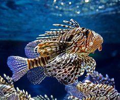 Lion fish, definitely my favorite marine animal.