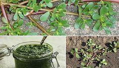 """Grande parte das pessoas ignora esta erva e a trata como se fosse uma erva daninha, mas na realidade é muito mais que isso!Beldroega (Portulaca oleracea) é uma planta herbácea com folhas pequenas, carnudas, ovais e de um verde brilhante. O haste, de um profundo marrom-roxo, muito carnudo, é ramificado e cresce """"rastejando"""" no terreno de forma incontrolável."""