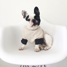 June, the French Bulldog  in #Pipolli