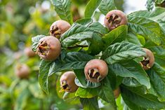 Healthy Medlars in fruit tree Stock Photo , Healthy Fruits, Edible Flowers, Kraut, Fruit Trees, Art Logo, Food Design, Flora, Apple, Gardening
