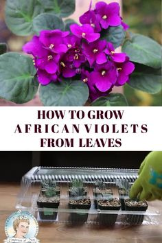 How to Grow African Violets from Leaf Cuttings Check more at garten. tattoo house plants How to Grow African Violets from Leaf Cuttings Petunia Flower, Violet Plant, Hydrangea Care, Jade Plants, Spider Plants, Propagation, Plant Cuttings, Outdoor Plants, Gardening For Beginners