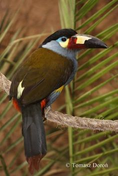 The Plate-billed Mountain Toucan (Andigena laminirostris) is a species of bird in the family Ramphastidae. It is native to Colombia and Ecuador, where it occurs in the high-altitude humid montane forests of the Andes.