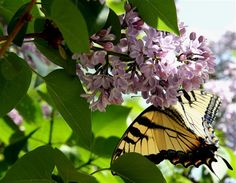 Lilacs and Butterfly - Photo Contest - National Wildlife Federation