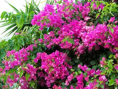 Cuidados de la Buganvilla | Plantas y Flores