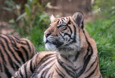One of the young tiger cubs Achilles at London Zoo.
