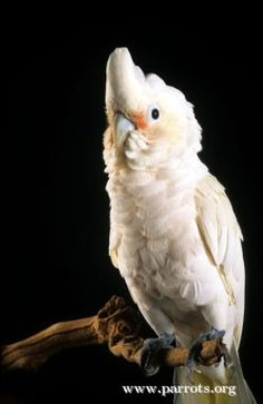 Goffin's Cockatoo | World Parrot Trust