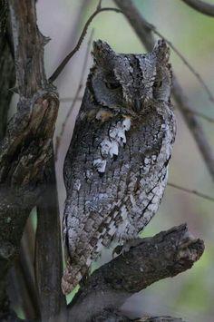 Scops Owl - Biyamiti Camp, Kruger National Park