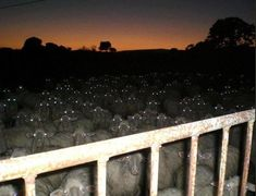Did you know that sheep at night look like something out of your worst nightmares? Check out these photos and well, try counting these while falling asleep… # scary # creepy sheep # creepy photos # funny sheep # night # sheep at night Scary Photos, Creepy Pictures, Funny Pictures, Creepy Images, Fail Pictures, Today Pictures, Images Terrifiantes, Foto One, Haha