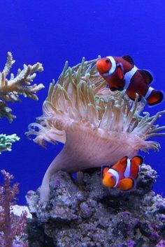 Clown fish and their Anemone home: The perfect symbiotic relationship Underwater Creatures, Underwater Life, Ocean Creatures, Photo Ocean, Vida Animal, Fauna Marina, Life Under The Sea, Salt Water Fish, Saltwater Tank